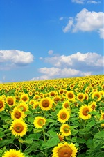 Preview iPhone wallpaper Sunflowers, summer, sky, clouds