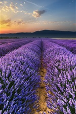 Preview iPhone wallpaper Sunrise, morning, field, lavender flowers