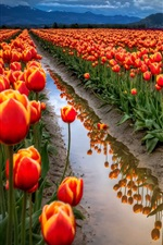Preview iPhone wallpaper Tulips field, orange flowers, sky, clouds, mountains, water, ditch