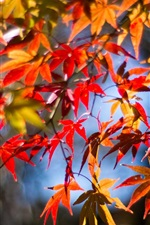 Twigs, red leaves, maple, autumn, sunshine