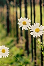 Preview iPhone wallpaper White chamomile flowers, daisy, fence, bokeh