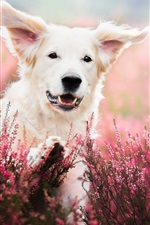 Preview iPhone wallpaper White dog, face, lavender, flowers