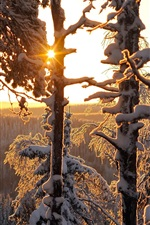 Winter forest, thick snow, sun rays, Finland