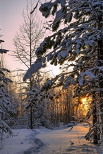 Winter, forest, thick snow, trees, sunset