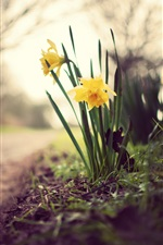 Preview iPhone wallpaper Yellow daffodils, flowers, grass, ground, path