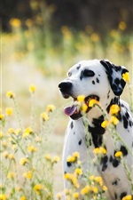Preview iPhone wallpaper Dalmatians, dog, wildflowers