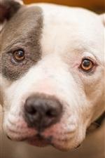 iPhone fondos de pantalla Cara del perro primer plano, blanco y negro