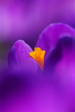 Preview iPhone wallpaper Flower macro photography, purple crocus, petals