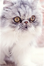 Furry kitten, baby, look, eyes, cute