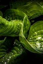 미리보기 iPhone 배경 화면 녹색 근접, 물방울, 이슬 잎