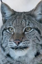 Preview iPhone wallpaper Lynx, wild cat, predator
