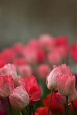 Preview iPhone wallpaper Pink flowers, tulips, blur background
