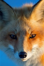 Preview iPhone wallpaper Red fox, portrait, eyes, blue background