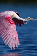 Preview iPhone wallpaper Roseate spoonbill flying, bird, wings, water