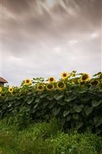 Sunflowers field, house, dusk