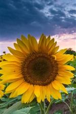 Sunflowers, summer, dusk, sunset, clouds