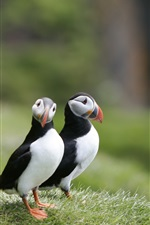 Preview iPhone wallpaper Two birds, puffins, grass