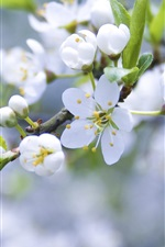 White apple flowers, buds, petals, twigs