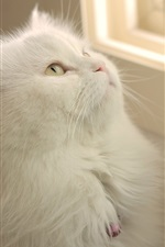 Preview iPhone wallpaper White cat look window