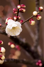 Preview iPhone wallpaper White cherry flowers, buds, twigs, blurring