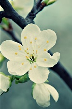 Preview iPhone wallpaper White cherry flowers, spring, bloom, petals