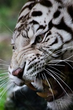 White tiger, face, whiskers, fangs