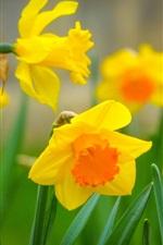 Yellow daffodils, leaves, macro photography