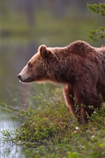 Preview iPhone wallpaper Brown bear, water, lakeside, grass