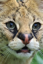Preview iPhone wallpaper Cute serval, wild cat, face, eyes
