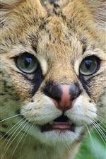 Симпатичные сервалом, дикая кошка, лицо, глаза