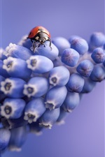 Preview iPhone wallpaper Grape hyacinth flowers, ladybug, blue