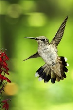 Preview iPhone wallpaper Hummingbird flying, red flowers, green background