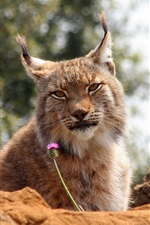 Preview iPhone wallpaper Lynx relax, rocks, flower, bokeh