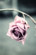 Preview iPhone wallpaper Pink flower, rose, petals, blur background