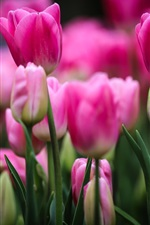 Preview iPhone wallpaper Pink tulips, flowers, buds, leaves, blurry