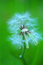 Preview iPhone wallpaper Plant macro, dandelion fluff, stem, green background