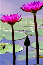 Preview iPhone wallpaper Pond, leaves, pink flowers, water lily, bee