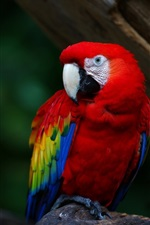 Preview iPhone wallpaper Red feather parrot, macaw, beak