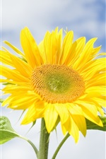 Preview iPhone wallpaper Sunflower, yellow flowers, blue sky, clouds