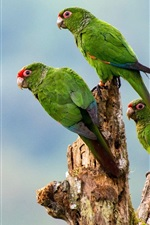 Preview iPhone wallpaper Three green parrots, birds close-up, stump