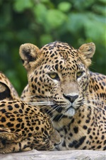 Preview iPhone wallpaper Three leopards, jaguar, rest