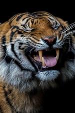 Tiger yawn, teeth, fangs, black background