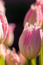 iPhone обои Тюльпаны, розовые цветы, бутоны, боке, солнечный свет