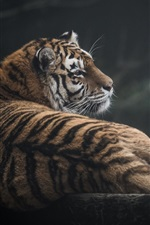 Wild cat, tiger, predator, look back
