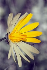 Wildflower close-up, yellow white petals, bokeh