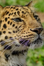 Amur leopard close-up, wild cat, predator