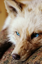 olhos azuis raposa, olhar, orelhas