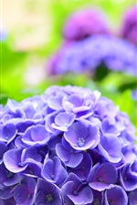 Preview iPhone wallpaper Blue hydrangea, spring