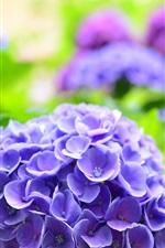 미리보기 iPhone 배경 화면 블루 수국, 봄