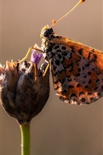 Preview iPhone wallpaper Butterfly, flower, wings, spots